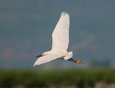 Photograph - Snowy Egret by Loree Johnson