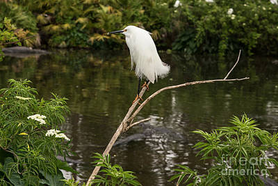 Nikki Vig Royalty-Free and Rights-Managed Images - Snowy Egret on Lookout by Nikki Vig