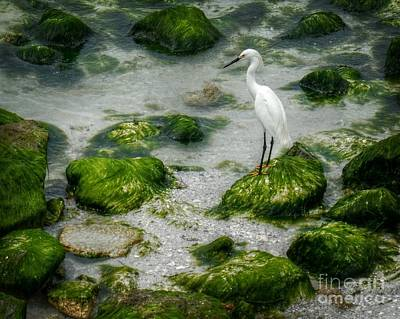 Photograph - Snowy Egret On Mossy Rocks by Valerie Reeves