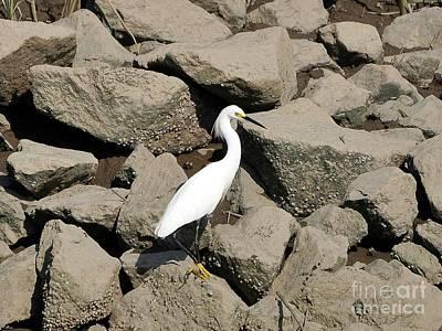 Snowy Egret On The Rocks Art Print