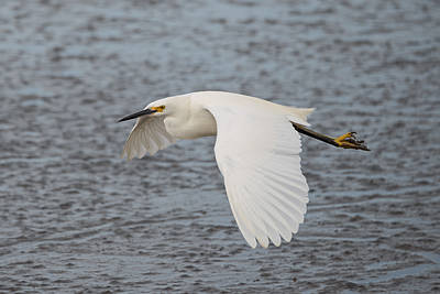 Photograph - Snowy Egret Over The Mud Flats by Loree Johnson