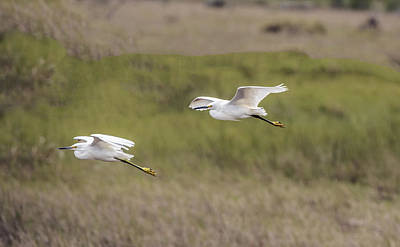 Photograph - Snowy Egret Pair Flying Across A Plain by William Bitman