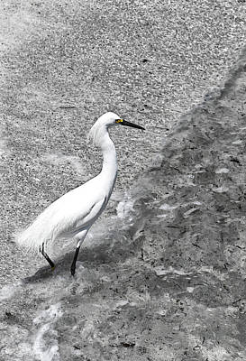 Photograph - Snowy Egret by Pamela Showalter