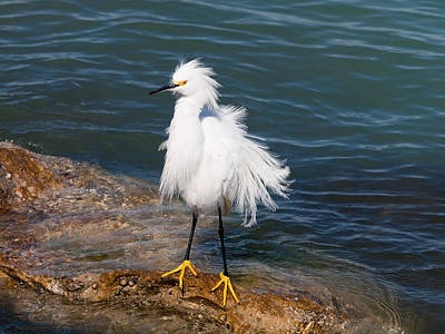 Print featuring the photograph Snowy Egret by Phil Stone