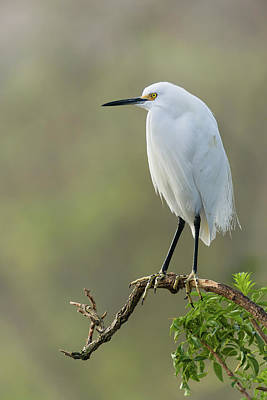 Photograph - Snowy Egret Portrait by Dawn Currie