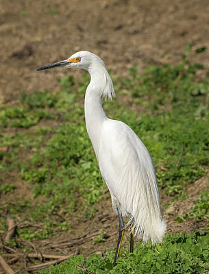 Photograph - Snowy Egret Portrait by Loree Johnson
