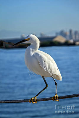 Photograph - Snowy Egret Portrait by Robert Bales