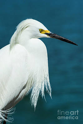 Mixed Media - Snowy Egret Portrait by Stefano Senise