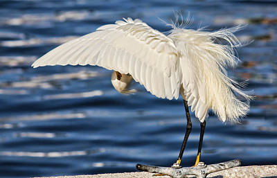 Photograph - Snowy Egret Preening By H H Photography Of Florida by HH Photography of Florida