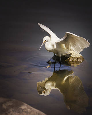 Snowy Egret Reflection Art Print