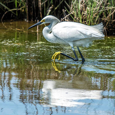 Photograph - Snowy Egret Reflection by William Bitman