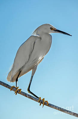 Photograph - Snowy Egret by Robert Bales