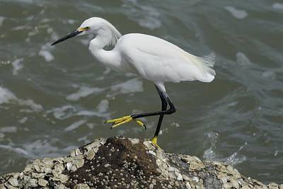 Photograph - Snowy Egret Rock Walking by Bradford Martin