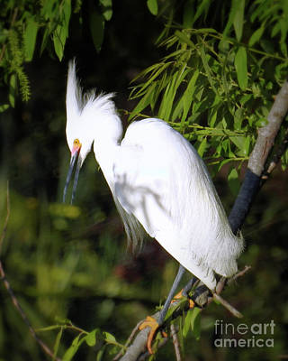 Photograph - Snowy Egret by Scott Cameron