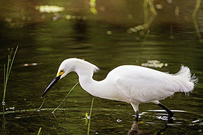 Avery Island Photograph - Snowy Egret by Scott Pellegrin