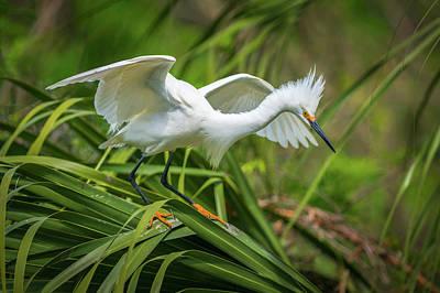 Coastal Photograph - Snowy Egret St Augustine Florida Wildlife Nature Photography by Dave Allen