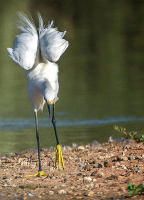 Photograph - Snowy Egret Stretch 4280-080917-3cr by Tam Ryan