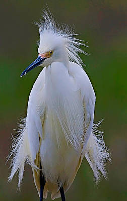 Photograph - Snowy Egret Struts by William Jobes
