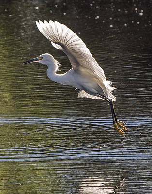 Photograph - Snowy Egret Takeoff by William Bitman