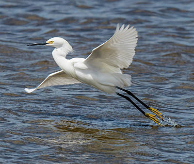 Photograph - Snowy Egret Taking Off by William Bitman
