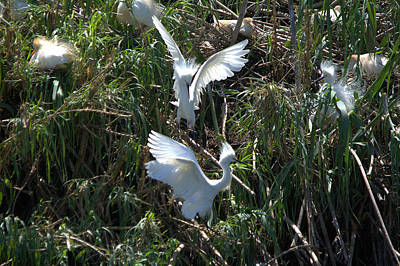 Snowy Egret - The Chase Series Print by Roy Williams