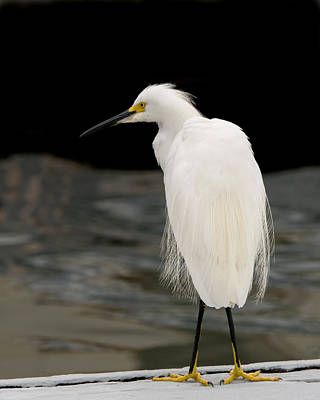 Photograph - Snowy Egret Waiting by Ernie Echols