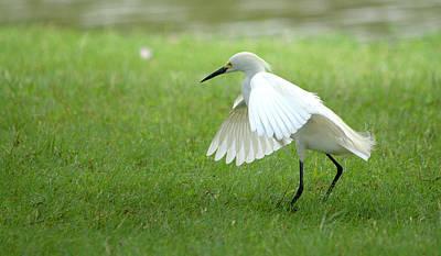 Snowy Egret Walking In The Park Art Print