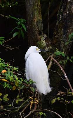 Photograph - Snowy Egret by Warren Thompson