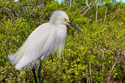 Snowy Egret Art Print by William Wetmore