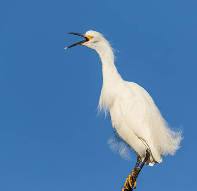 Photograph - Snowy Egret With Attitude by Kathleen Bishop