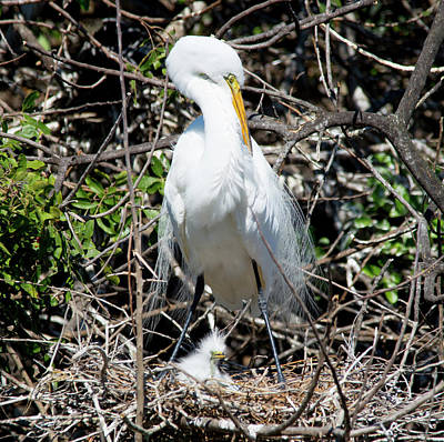 Photograph - Snowy Egret With Chicks by John Black