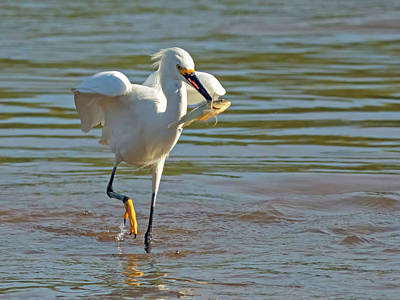 Photograph - Snowy Egret With Fish 1213-111317-2cr by Tam Ryan