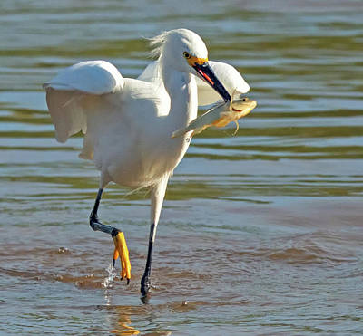 Photograph - Snowy Egret With Fish 1213-111317-3cr by Tam Ryan