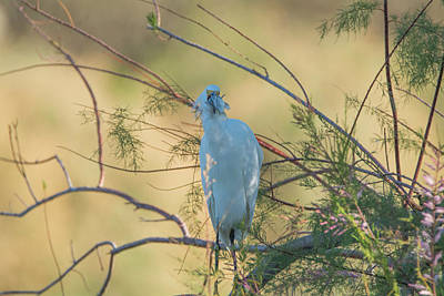 Photograph - Snowy Egret With Fish 9651-022318-1 by Tam Ryan