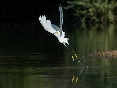 Photograph - Snowy Egrets 080917-4290-1cr by Tam Ryan
