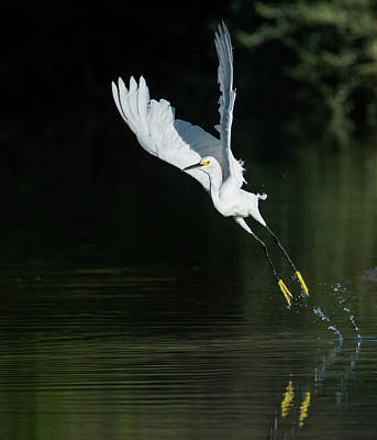 Photograph - Snowy Egrets 080917-4290-2cr by Tam Ryan