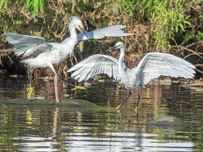 Photograph - Snowy Egrets 1051-051518-1cr by Tam Ryan