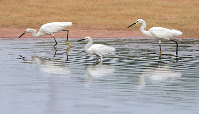 Photograph - Snowy Egrets 2138-073118-1cr by Tam Ryan