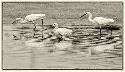 Photograph - Snowy Egrets 2138-073118-2cr by Tam Ryan