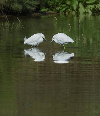 Photograph - Snowy Egrets 9264-022118-2cr by Tam Ryan