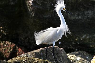 Photograph - Snowy Egrets Bad Hair Day by Carol Montoya