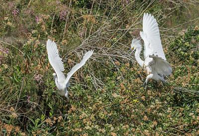 Photograph - Snowy Egrets Behavior 9080-022118-1cr by Tam Ryan