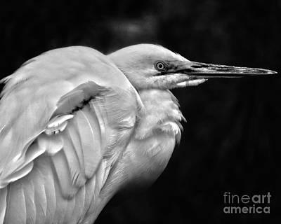 Photograph - Snowy Egrets Black And White by Dawn Gari