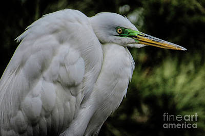 Photograph - Snowy Egrets by Dawn Gari