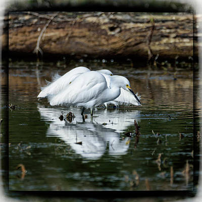 Photograph - Snowy Egrets Feeding - Digital Framing by Debra Martz