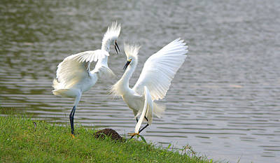 Snowy Egrets Fighting Art Print by Roy Williams