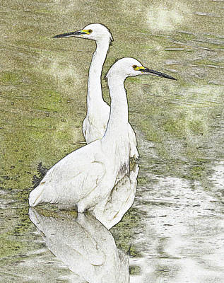 Photograph - Snowy Egrets Photo Art 5960-113017-1cr-v by Tam Ryan