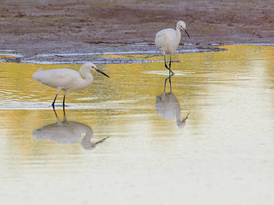 Photograph - Snowy Egrets Reflection 7231-042518-1cr by Tam Ryan