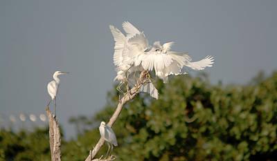Frenzy Photograph - Snowy Egrets Treetop Feeding Frenzy by Roy Williams