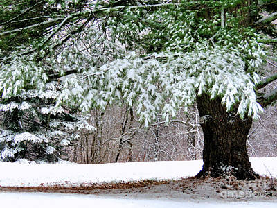 Photograph - Snowy Evergreen  by Janice Drew